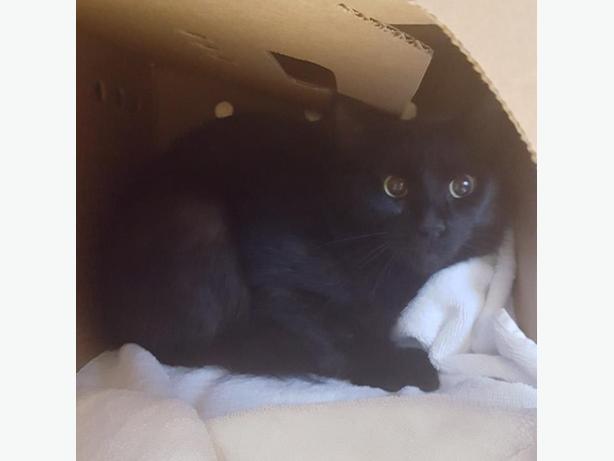 Scorpio - Domestic Medium Hair Cat