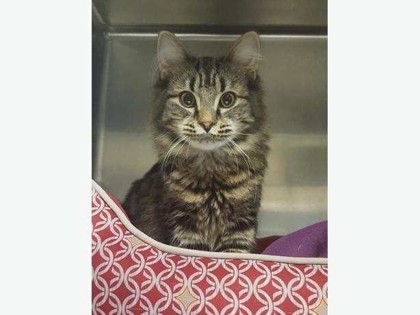 Aquarius - Domestic Medium Hair Cat