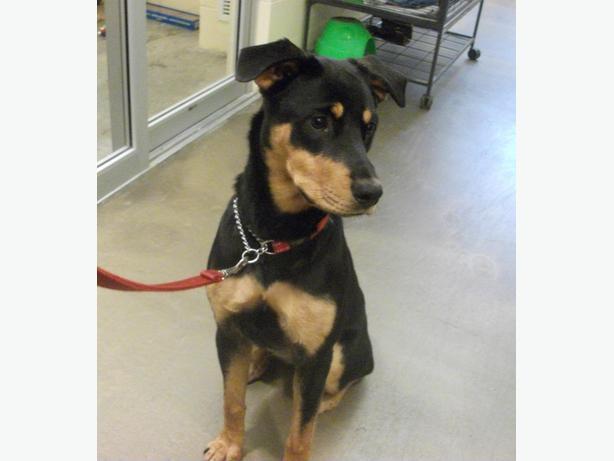 Gracey (pending Application) - Rottweiler Dog