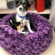 Lillie Belle *In Foster* - Chihuahua Puppy