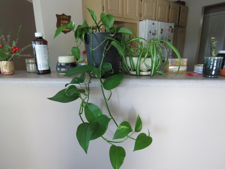 Indoor plants for sale! Saanich, Victoria