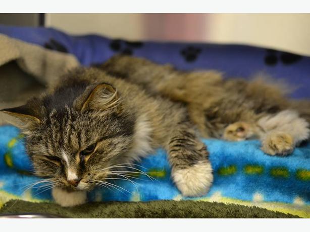 FOUND ADULT CAT