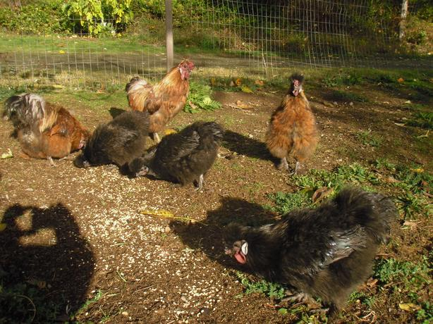 Silky roosters