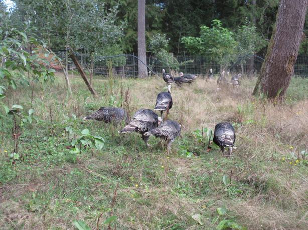 Bronze Orlopp Turkeys