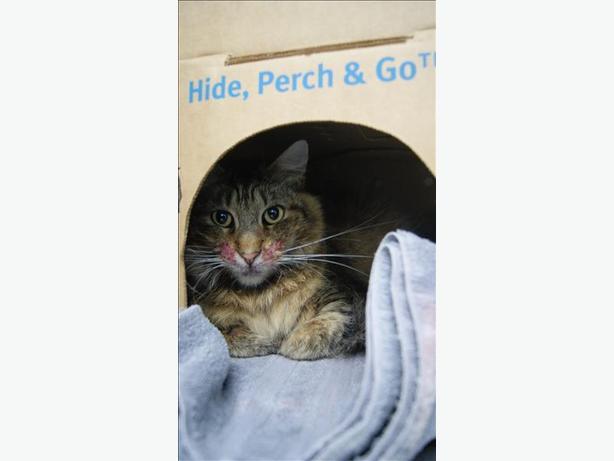 Dexter - Domestic Medium Hair Cat