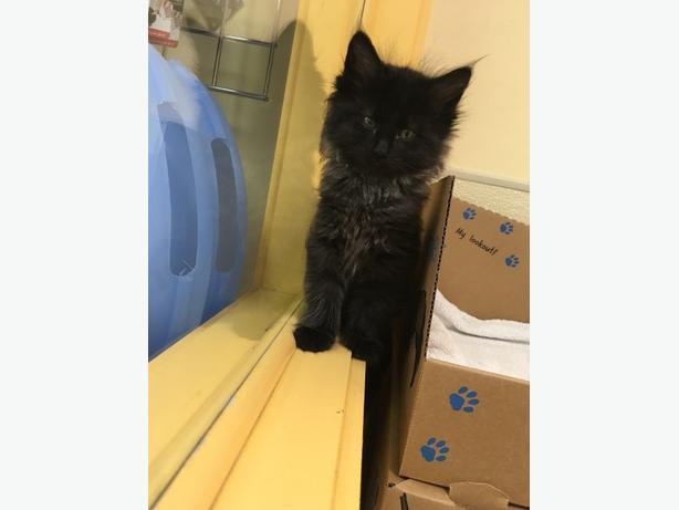 Catwoman - Domestic Longhair Kitten
