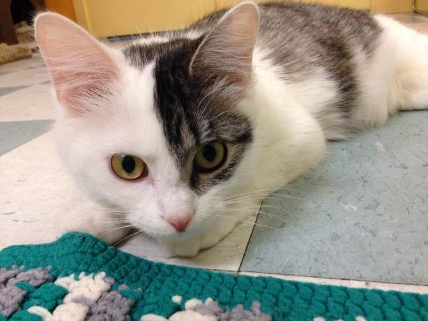 Zena - Domestic Longhair Cat