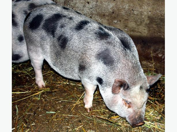 JULIANA pig, rare breed, miniature, ideal for hobby farm!