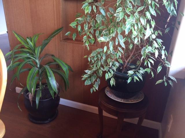 Large potted house plants esquimalt view royal victoria for Large non toxic house plants