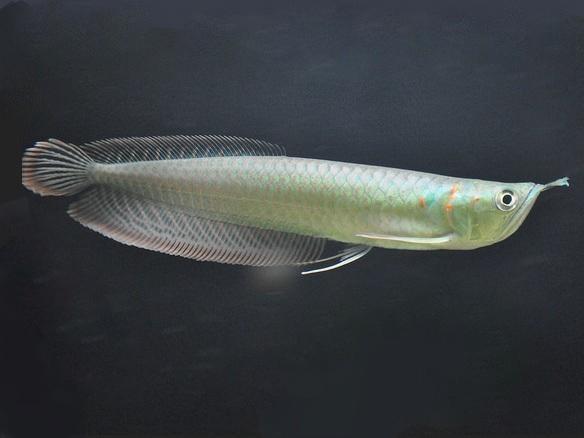 Premium exotic fish sale stingrays arowana puffer fish for Puffer fish for sale