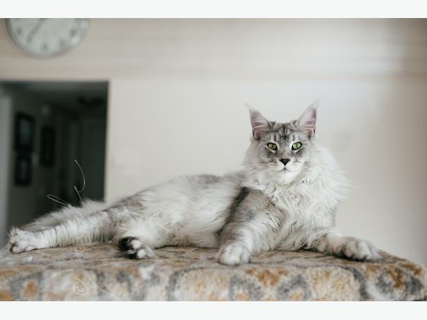 Purebred Maine Coon Silver Tabby