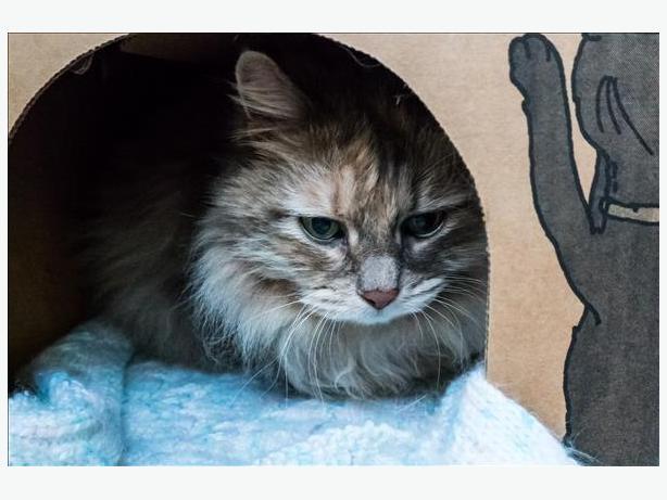 Annie - Domestic Longhair Cat