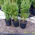 blueberry plants - cedar - BOXWOOD hedging