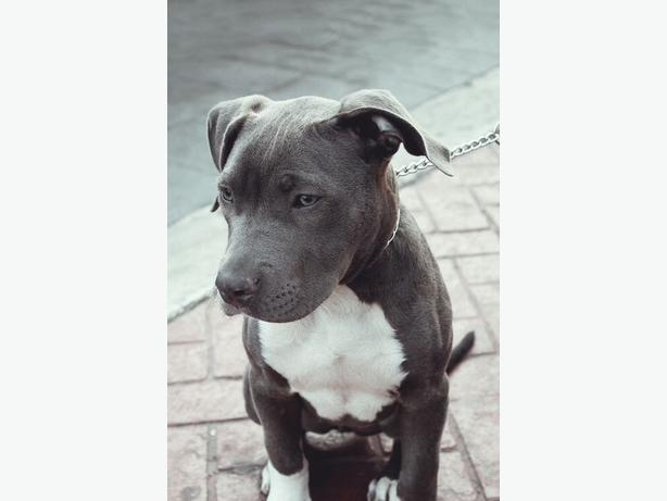 WANTED: pit bull/staffordshire puppy