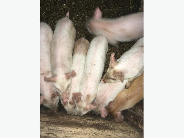 wiener pigs