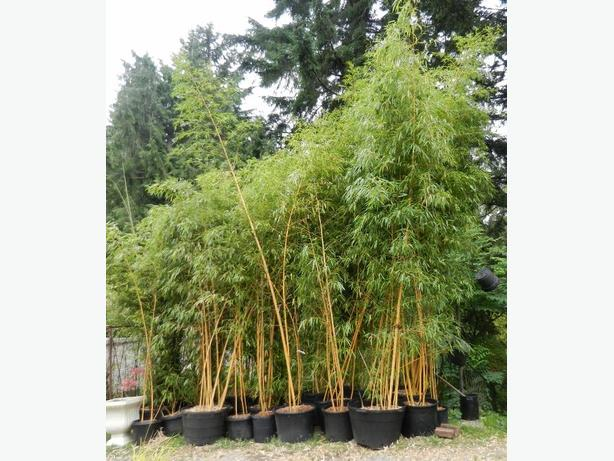Container grown Timber Bamboo