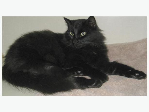 Leo - Domestic Longhair Cat