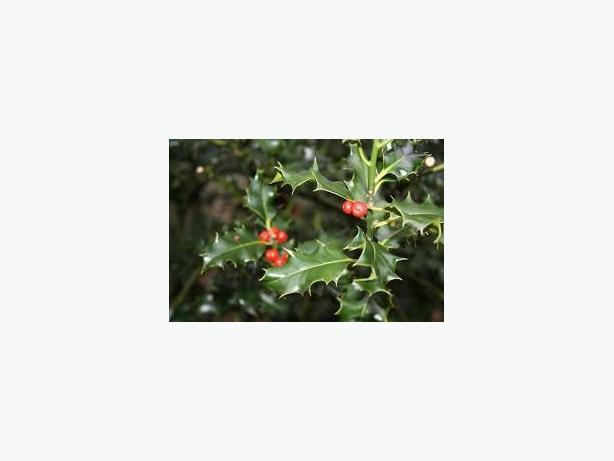 Holly for sale