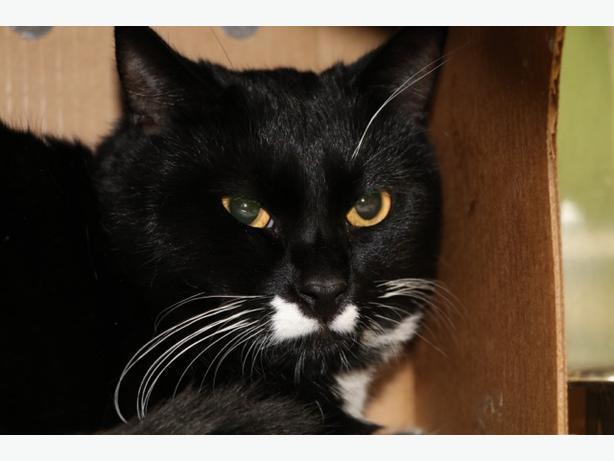 Stash - Domestic Short Hair Cat
