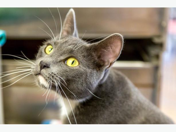 Peanut - Domestic Short Hair Cat