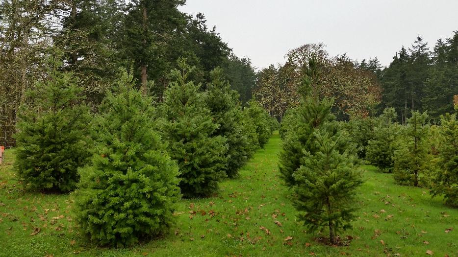 U-cut Christmas Tree Farm West Shore: Langford,Colwood