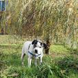 Zoey - Pointer Dog