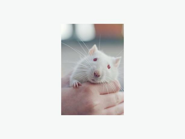 No Markings - Rat Small Animal