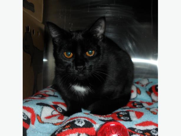 Zora - Domestic Short Hair Kitten