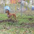 Rosie - Boxer Dog