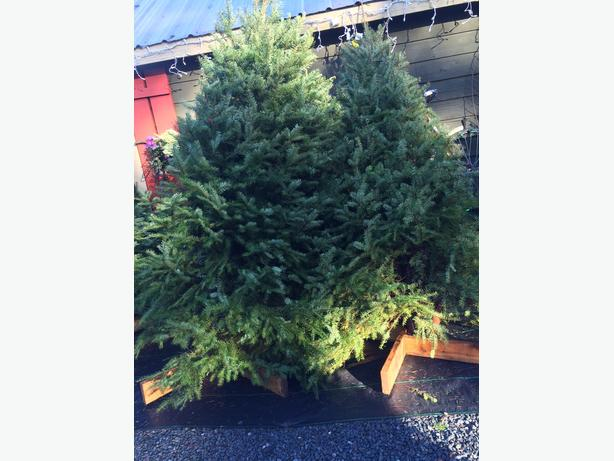 FRESH CUT XMAS TREES