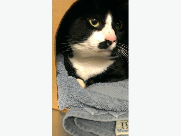 Sandy - Domestic Medium Hair Cat