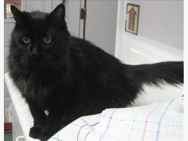 Sweetie - Domestic Longhair Cat