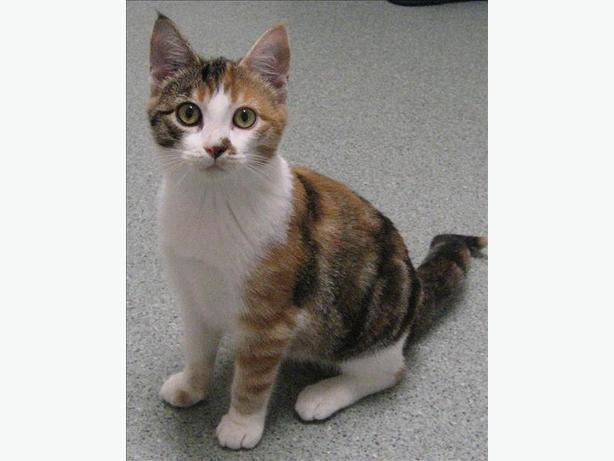 Pixie - Domestic Short Hair Kitten
