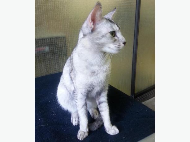Lola - Abyssinian Cat