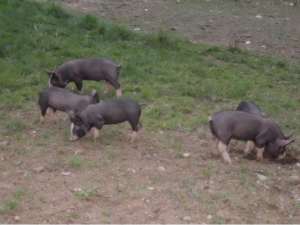 Free-Range Organically Fed Pork - by the Side or the Piece