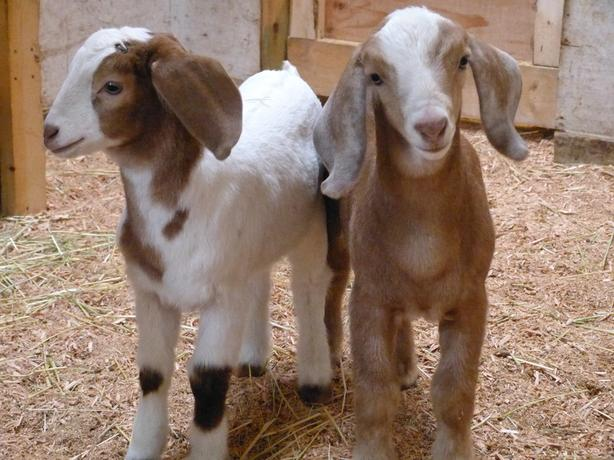 GOAT KIDS !!! Nubian/Boer cross kids for sale.