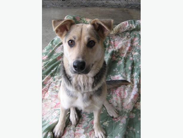 Kikiah - German Shepherd Dog