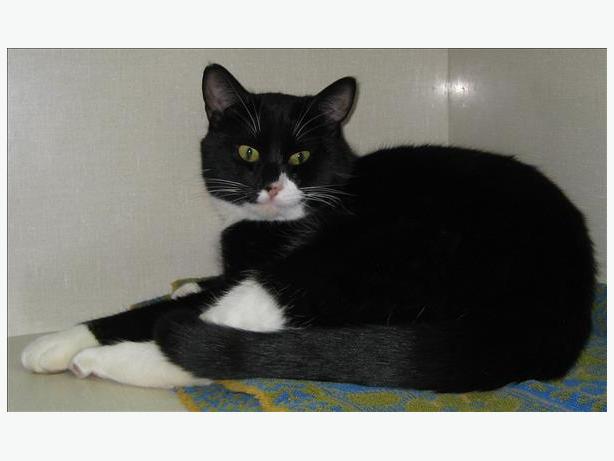 Johnson - Domestic Short Hair Cat