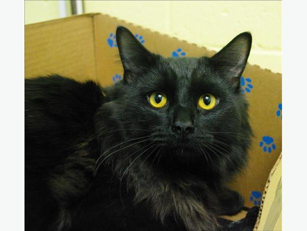 Butch Catsidy - Domestic Medium Hair Cat