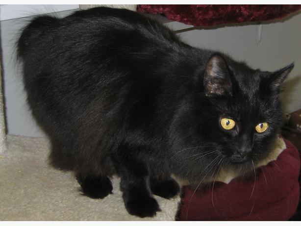Boo - Domestic Medium Hair Cat