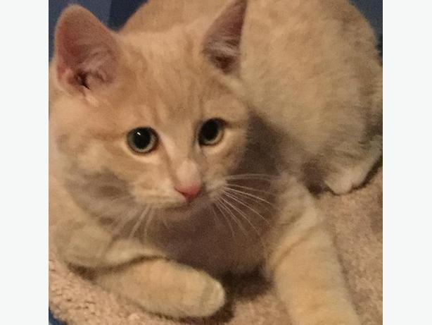 Cooper - Domestic Short Hair Kitten