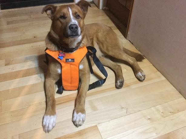 Sleepypod Dog Car Harness
