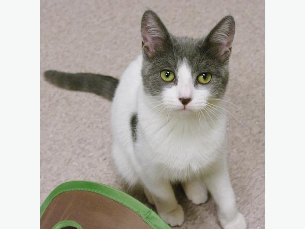 Grace - Domestic Short Hair Kitten