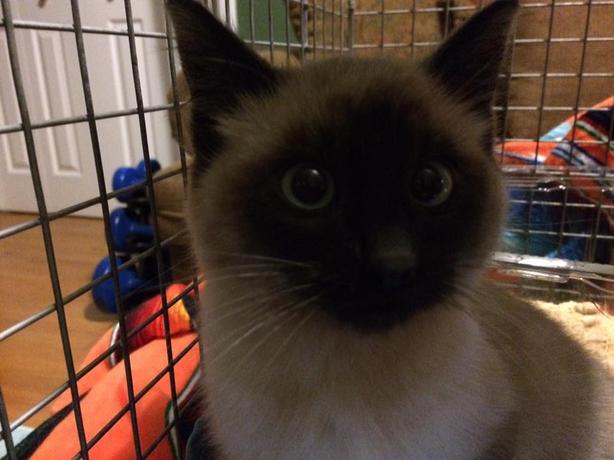 Sherlock - Domestic Short Hair Kitten