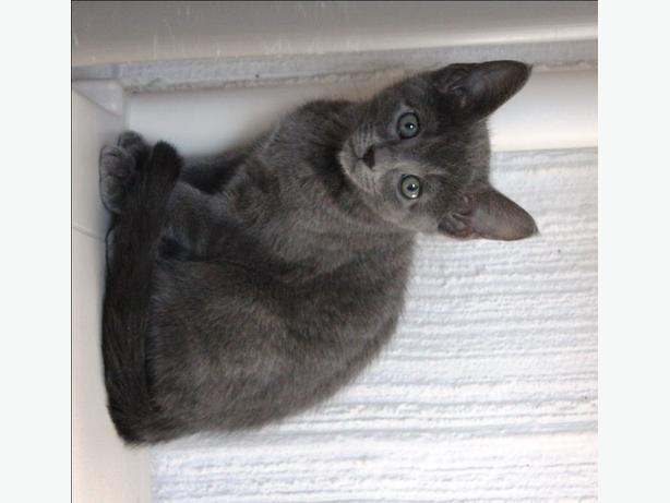 Abigail - Domestic Short Hair Kitten
