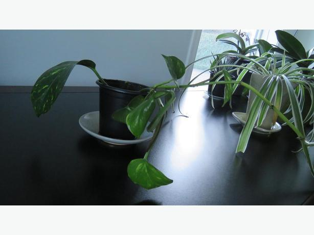 indoor plants for sale saanich victoria