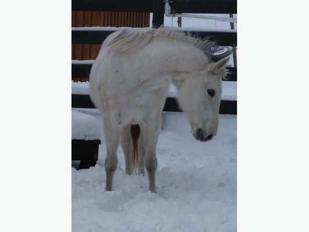 Large Pony Mare