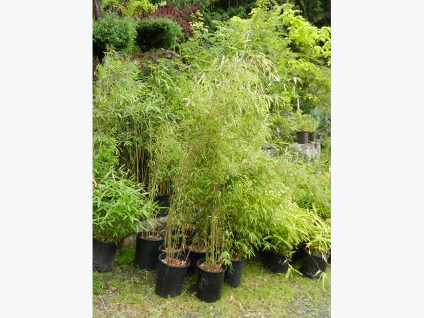 5 gallon size Fargesia Rufa clumping Bamboo
