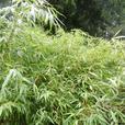5 gallon size Fargesia robusta Wolong clumping Bamboo
