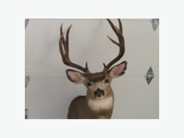 5 point mule deer